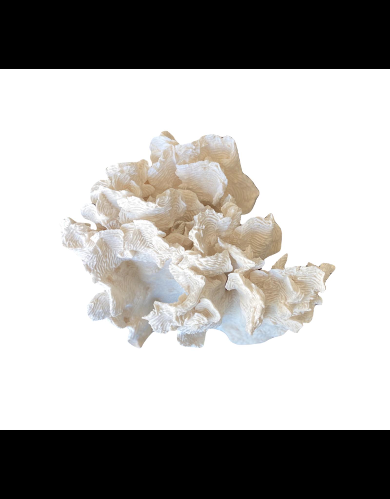 Rugosa Coral