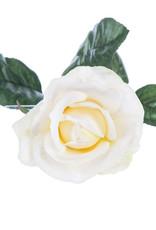 White Carolina Rose