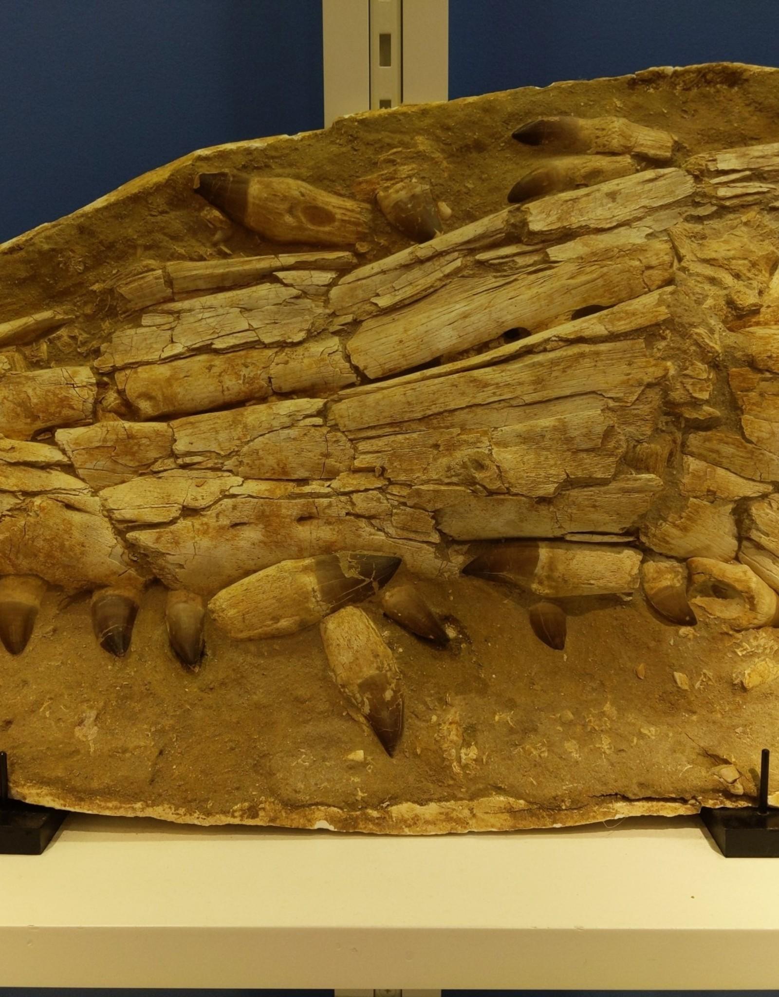 Fossil Mosasaur Skull, Morocco