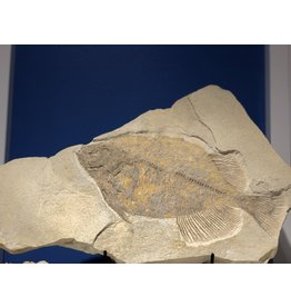 Fossil Fish (Phareodus Testis) Green River, Wyoming