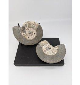 Vascoceras Ammonite ~110 MYA, Nigeria