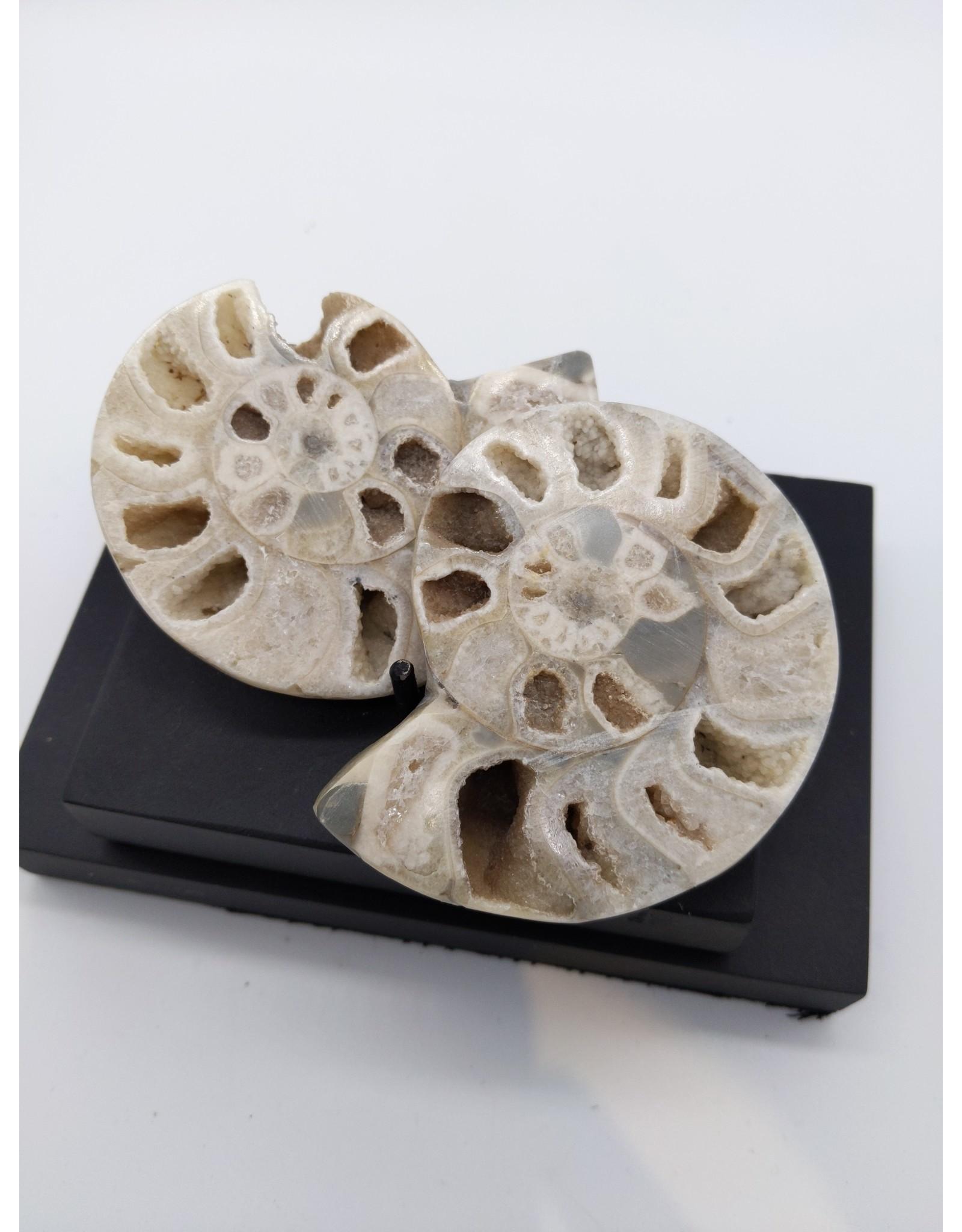 Vascoceras Ammonite Pair~110 MYA, Nigeria
