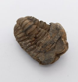 Trilobite Fossil- Flexicalymene (Morocco) Upper Orovician, ~449 MYA