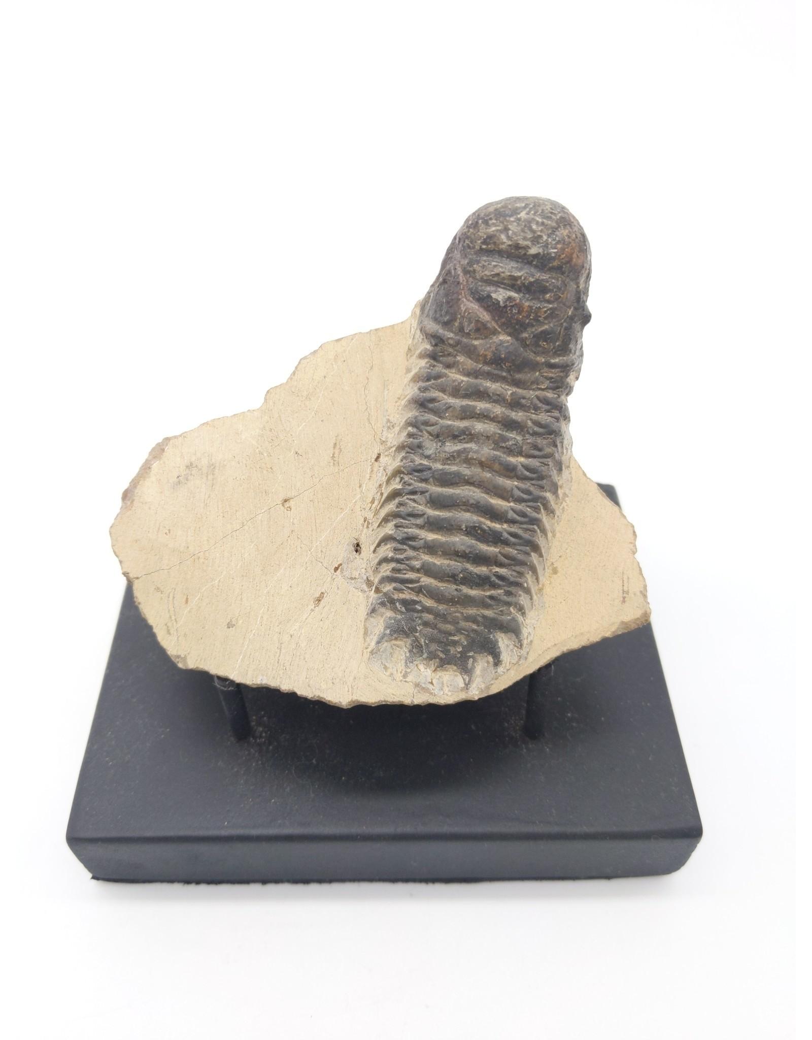 Fossil Trilobite in Matrix (Morocco)
