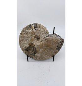 Ammonite (Madagascar) XLARGE