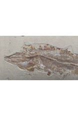 Fossil Fish Plate with Two Fish (Italy)