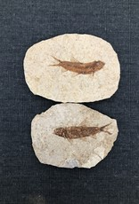 Fossil Fish Plate (Knightia sp.) Green River Formation