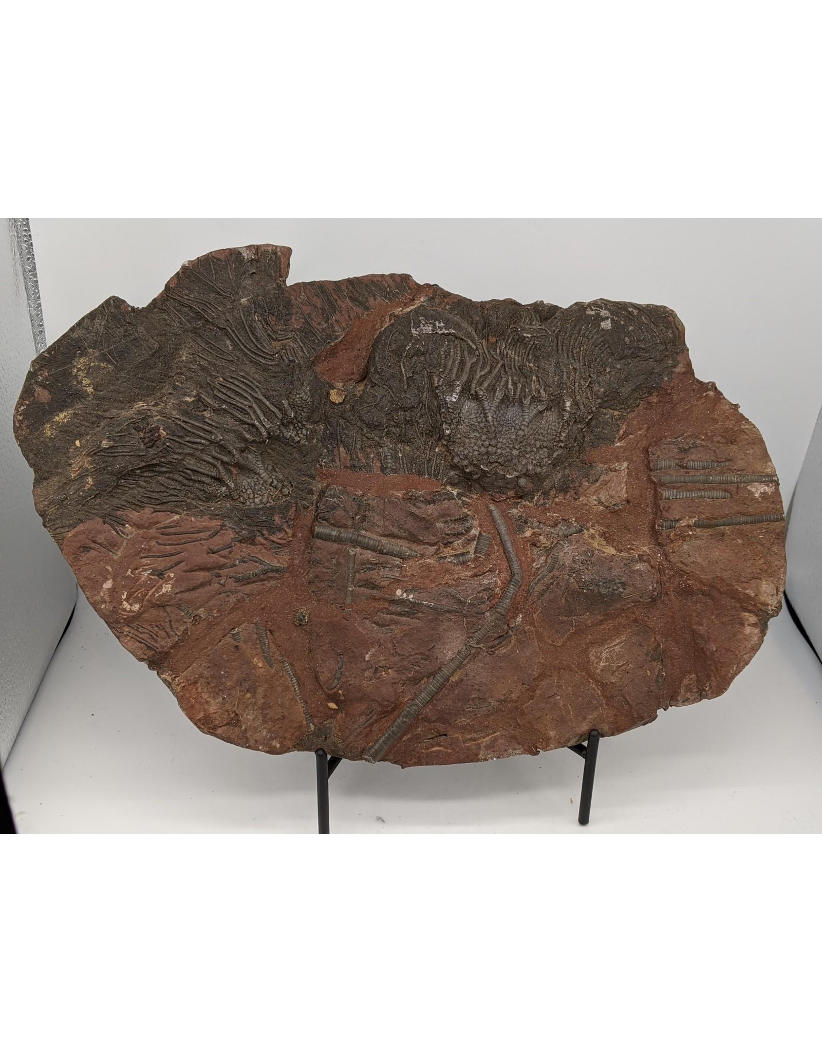Fossil Crinoid Plate (Erfoud, Morocco) Upper Silurian, 420 MYA