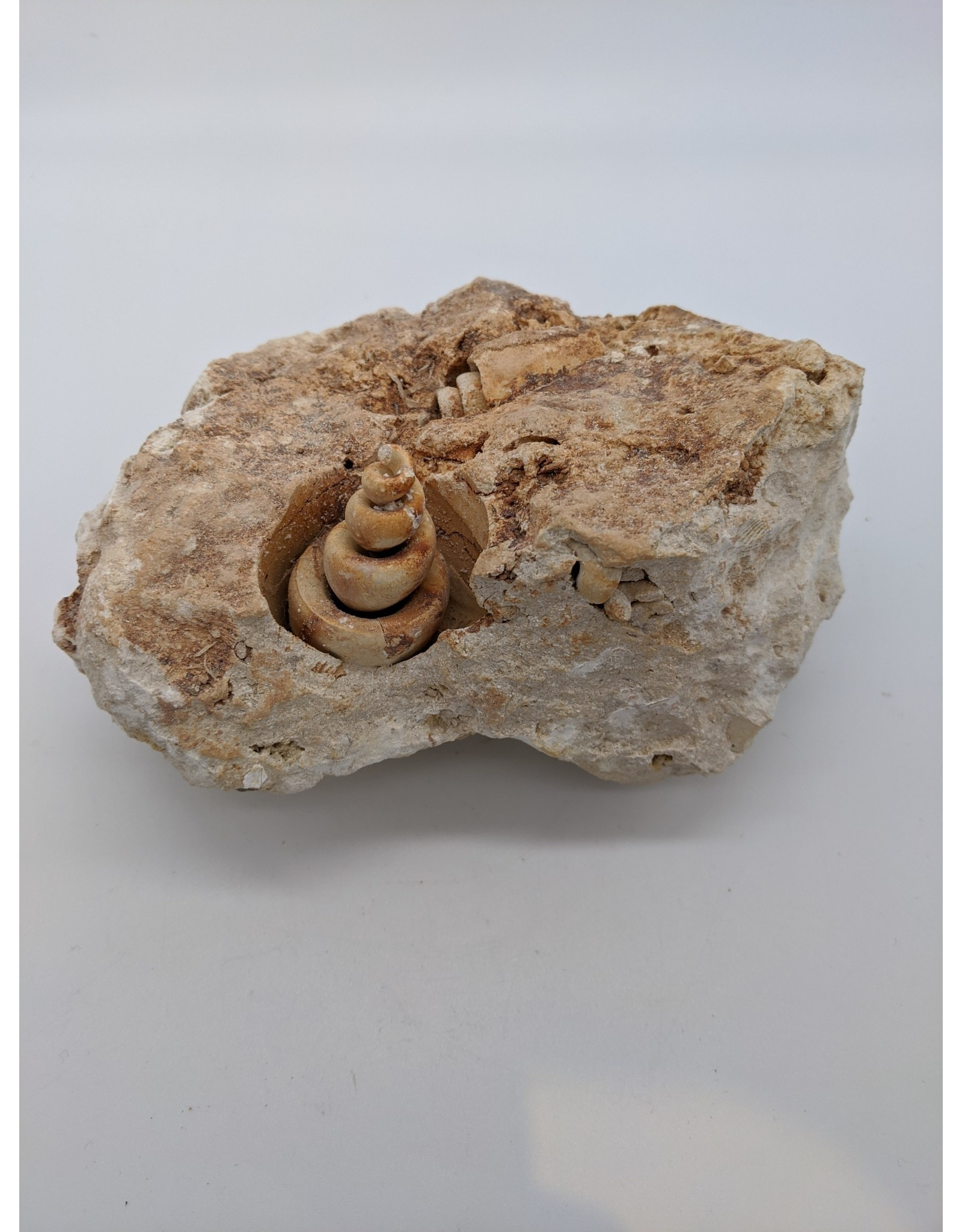 Fossil Sea Snail (Verona, Italy)