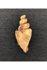 Fossil Sea Snail (Verona, Italy) Strombus sp.  Eocene ~50MYA