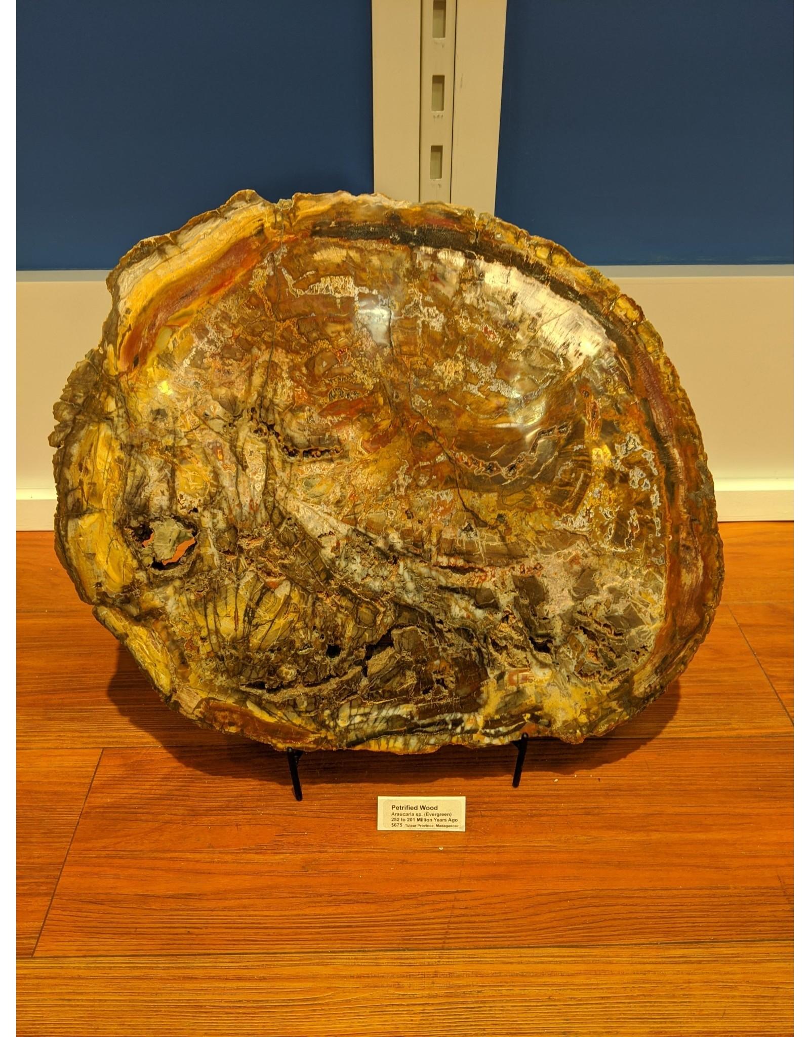 Petrified Wood Slab, Araucaria Sp.  252-201 MYA (Tulear Province, Madagascar)