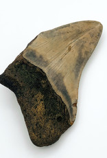 Fossil Megalodon Tooth