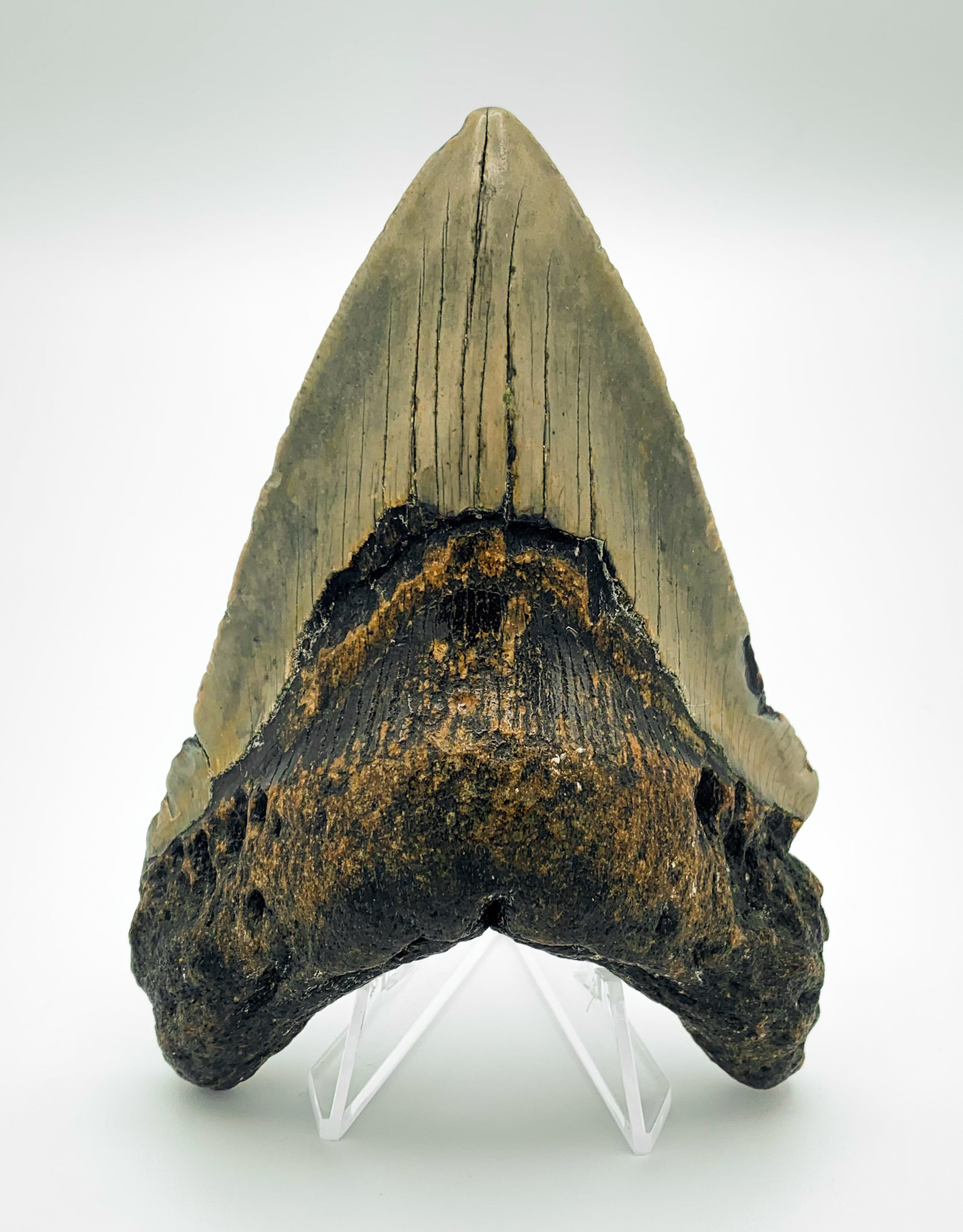 Fossil Megalodon Tooth - Almost 5""