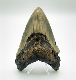 "Fossil Megalodon Tooth - Almost 5""!"