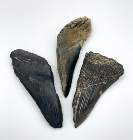 Fossil Megalodon Tooth (Partial)