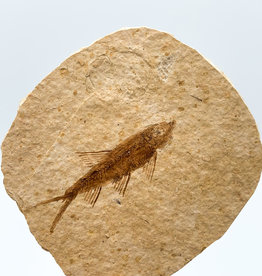 Fossil Fish Plate (Green River Formation, Wyoming)