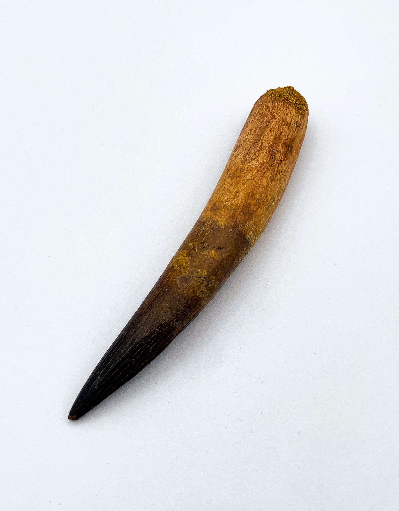 Fossil Spinosaurus Tooth (Morocco)