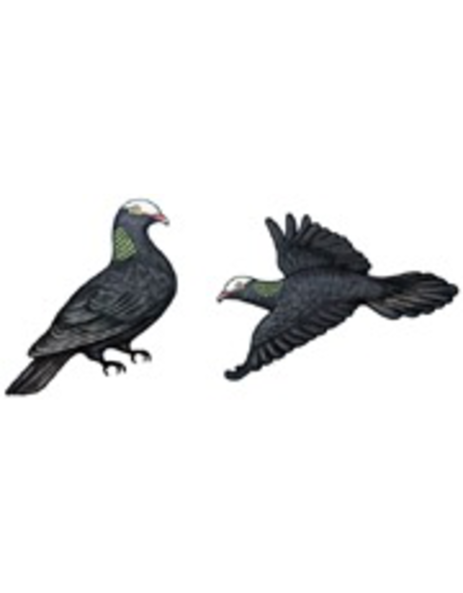 Jabebo Earrings PIGEON (WHITE-CROWNED, JABEBO)