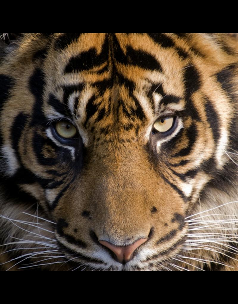 Zen Art & Design Amur Tiger (Teaser, 50 Pieces, Artisanal Wooden Jigsaw Puzzle)
