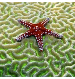 Zen Art & Design Starfish on Brain Coral (Md, 207 Pieces, Artisanal Wooden Jigsaw Puzzle)