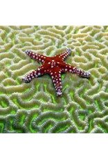 Zen Art & Design Starfish on Brain Coral (Sm, 121 Pieces, Artisanal Wooden Jigsaw Puzzle)