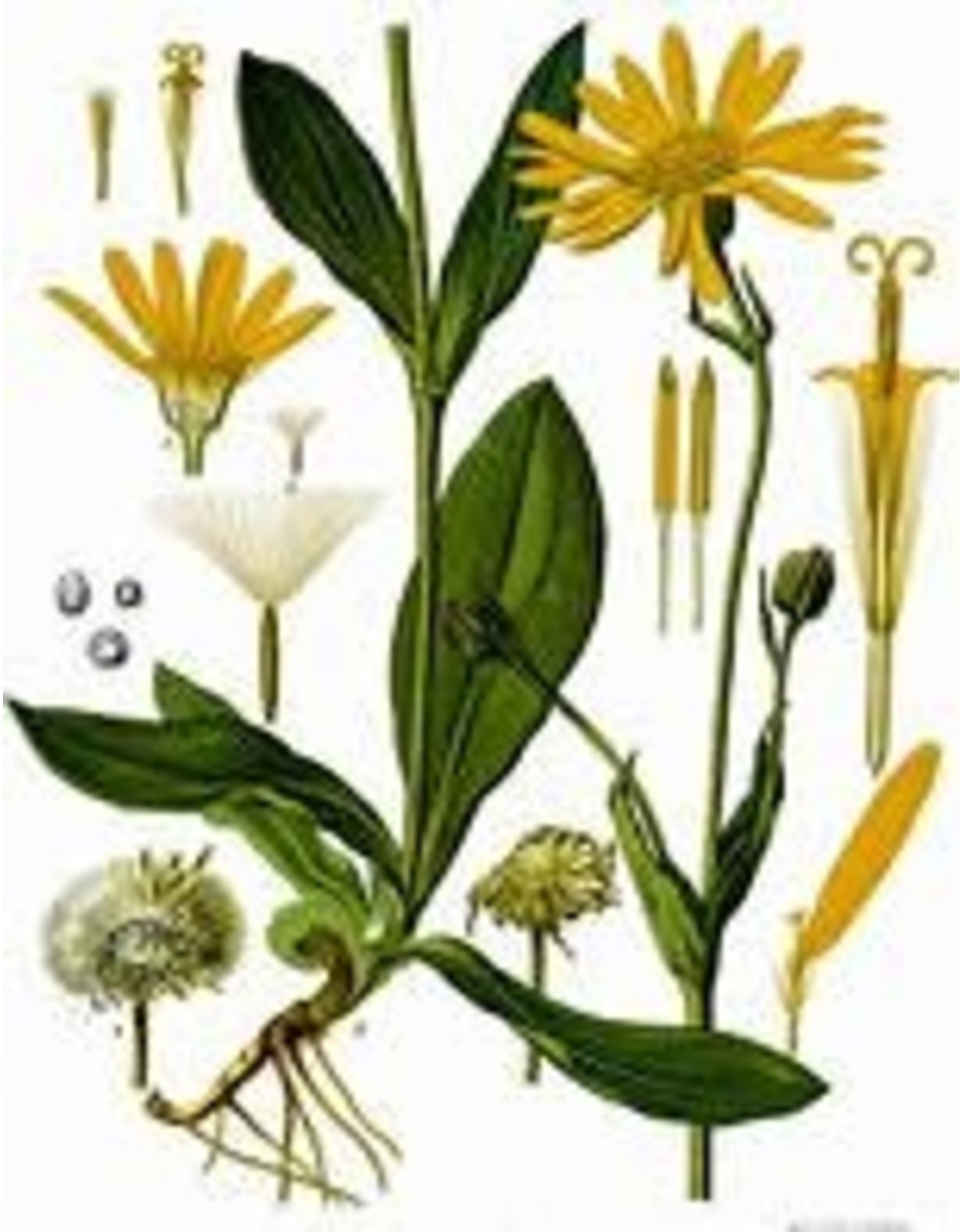 Arnica Flowers - Whole