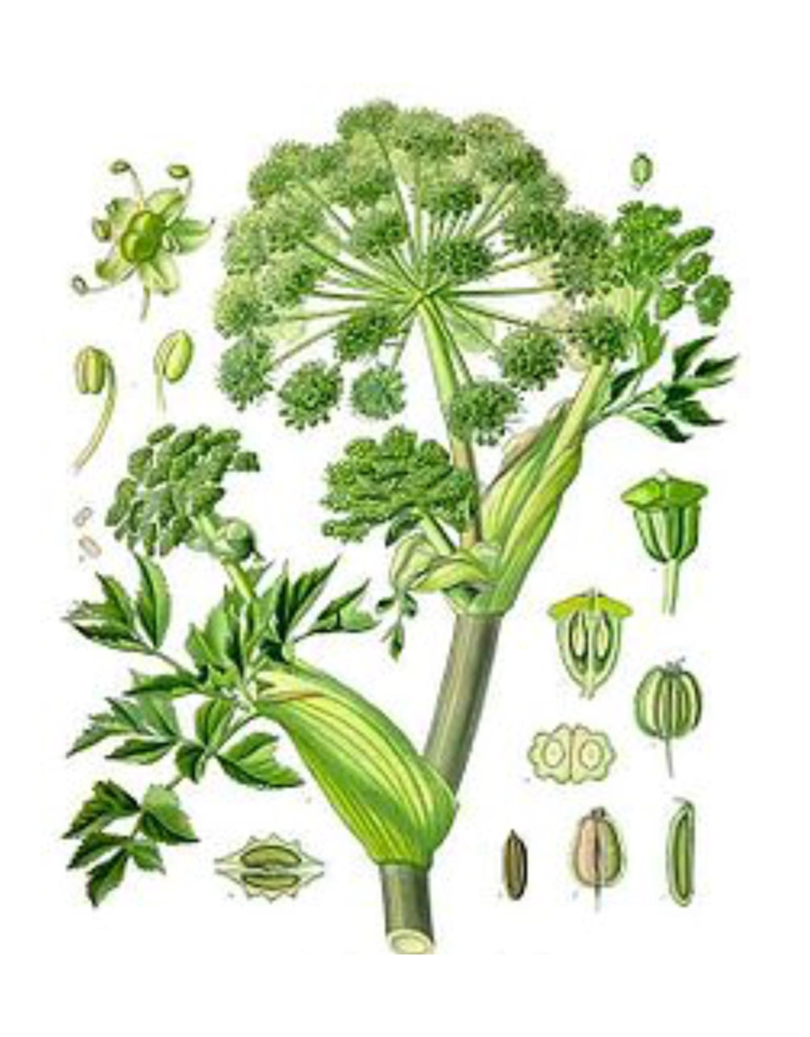Starwest Botanical Angelica Root   1/2 oz.