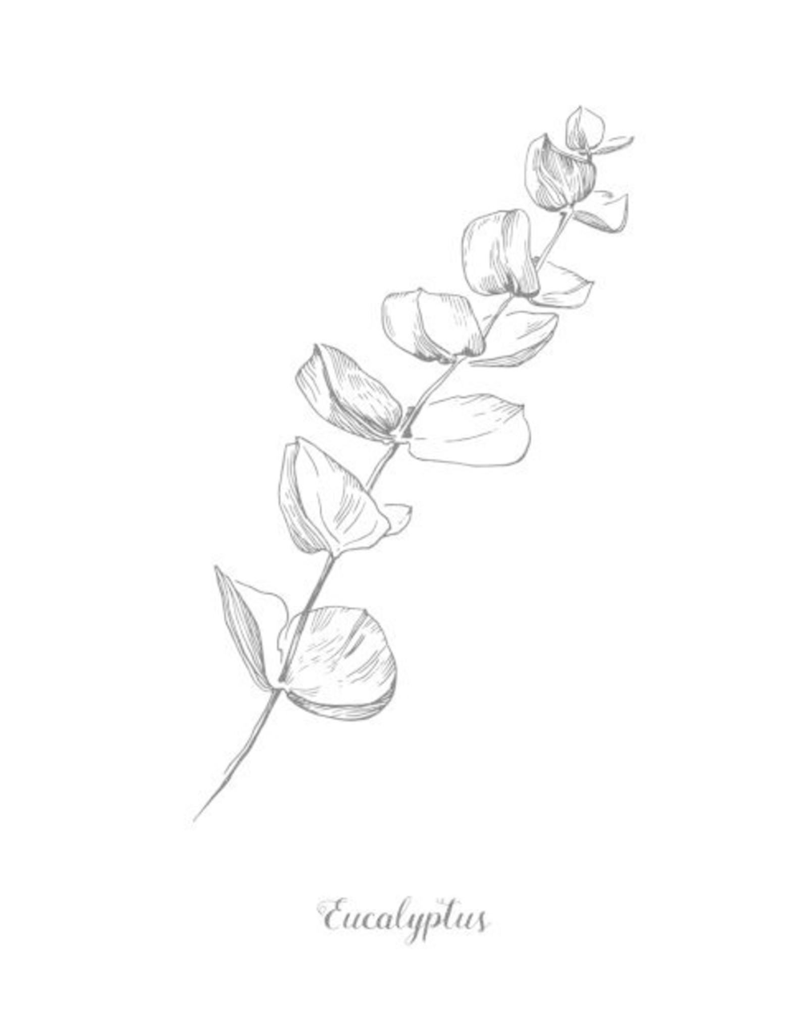Eucalyptus Leaf   1/2 oz.
