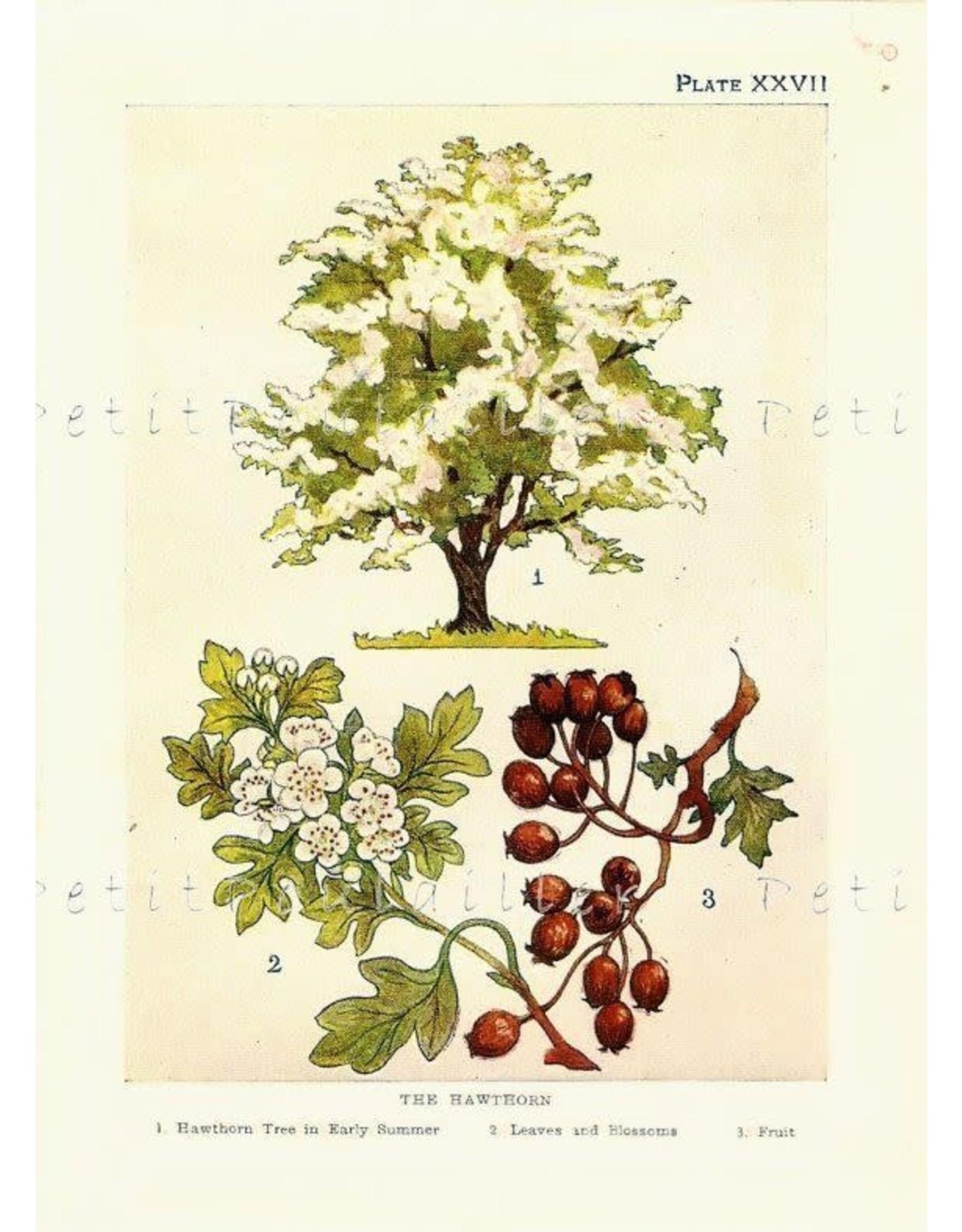 Hawthorn Berries | 1/2 oz.