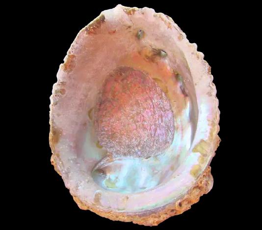 Pink Abalone Shell-2