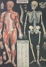 "Cavallini Anatomy, Poster Print, 20"" x 28"""
