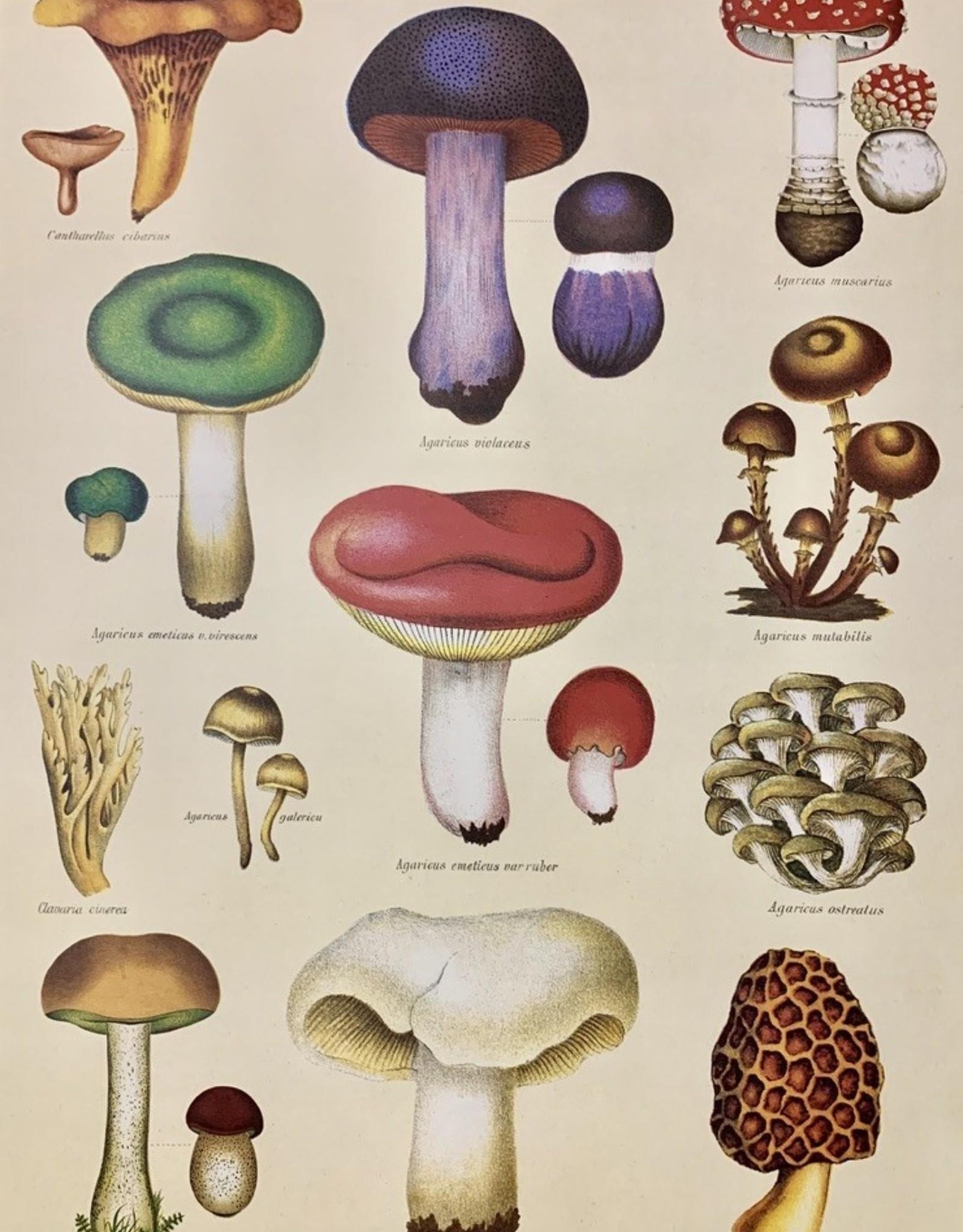 """Cavallini Mushroom, Cavallini Poster Print, 20"""" x 28"""""""