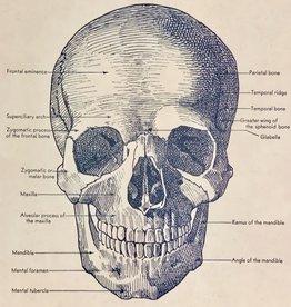 "Cavallini Skull, Cavallini Poster Print, 20"" x 28"""
