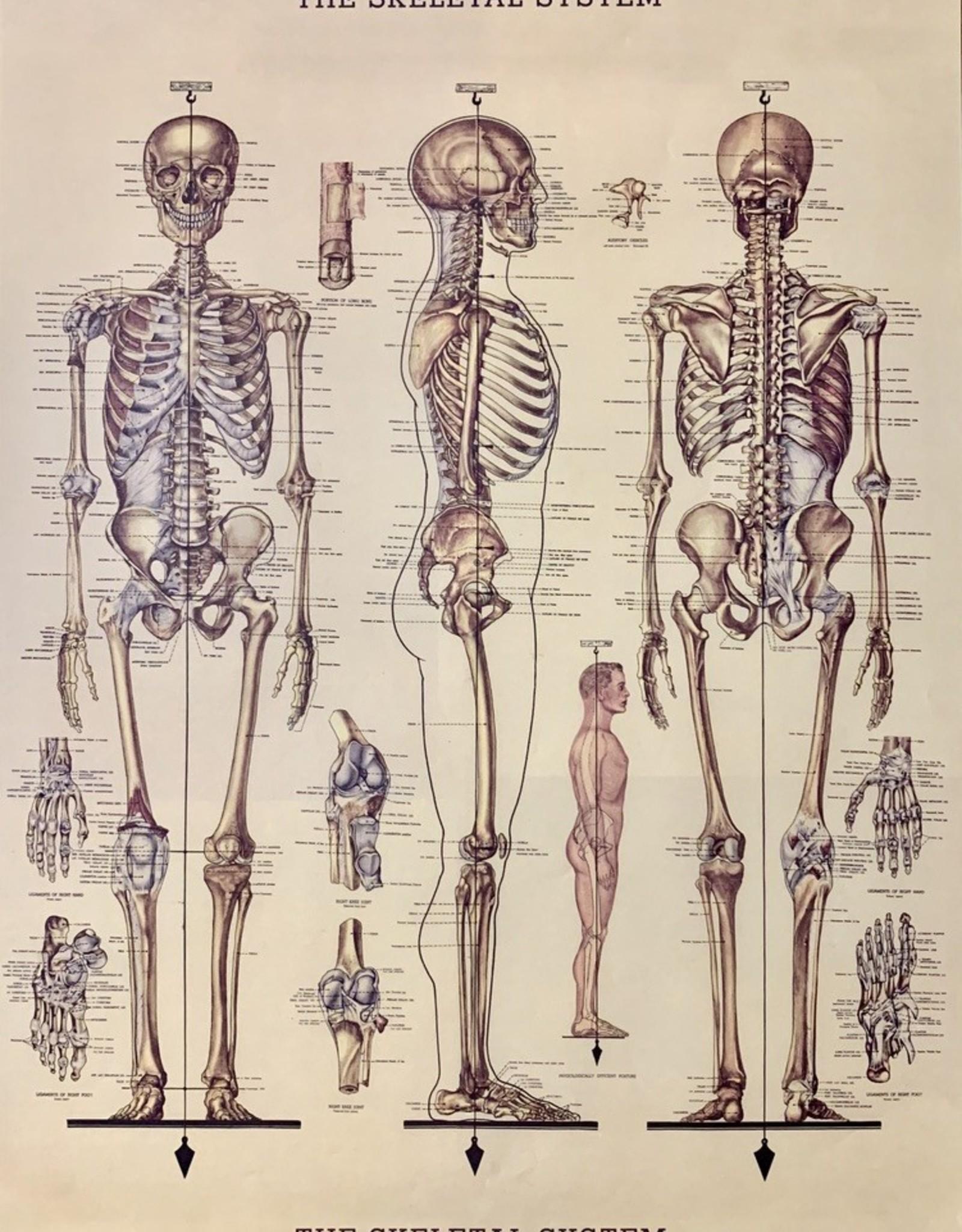 "Cavallini Skeleton, Cavallini Poster Print, 20"" x 28"""