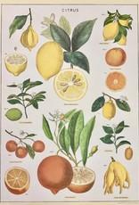 """Cavallini Citrus, Cavallini Poster Print, 20"""" x 28"""""""