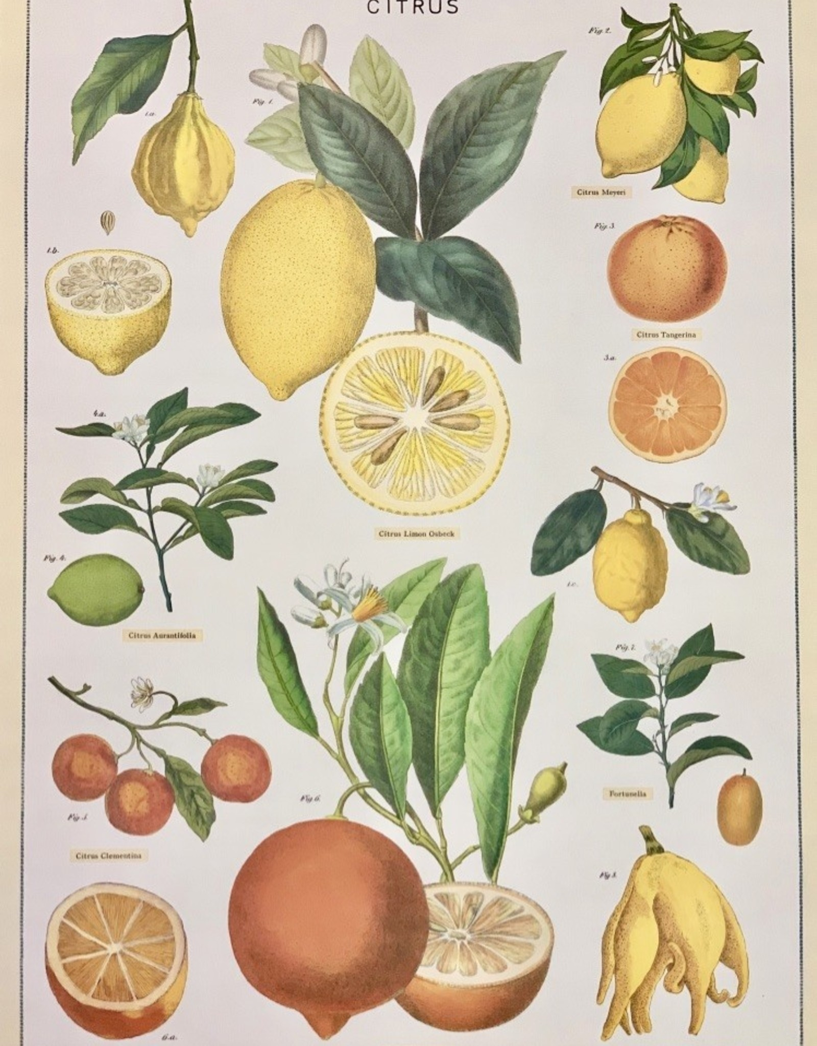 """Cavallini Citrus, Poster Print, 20"""" x 28"""""""