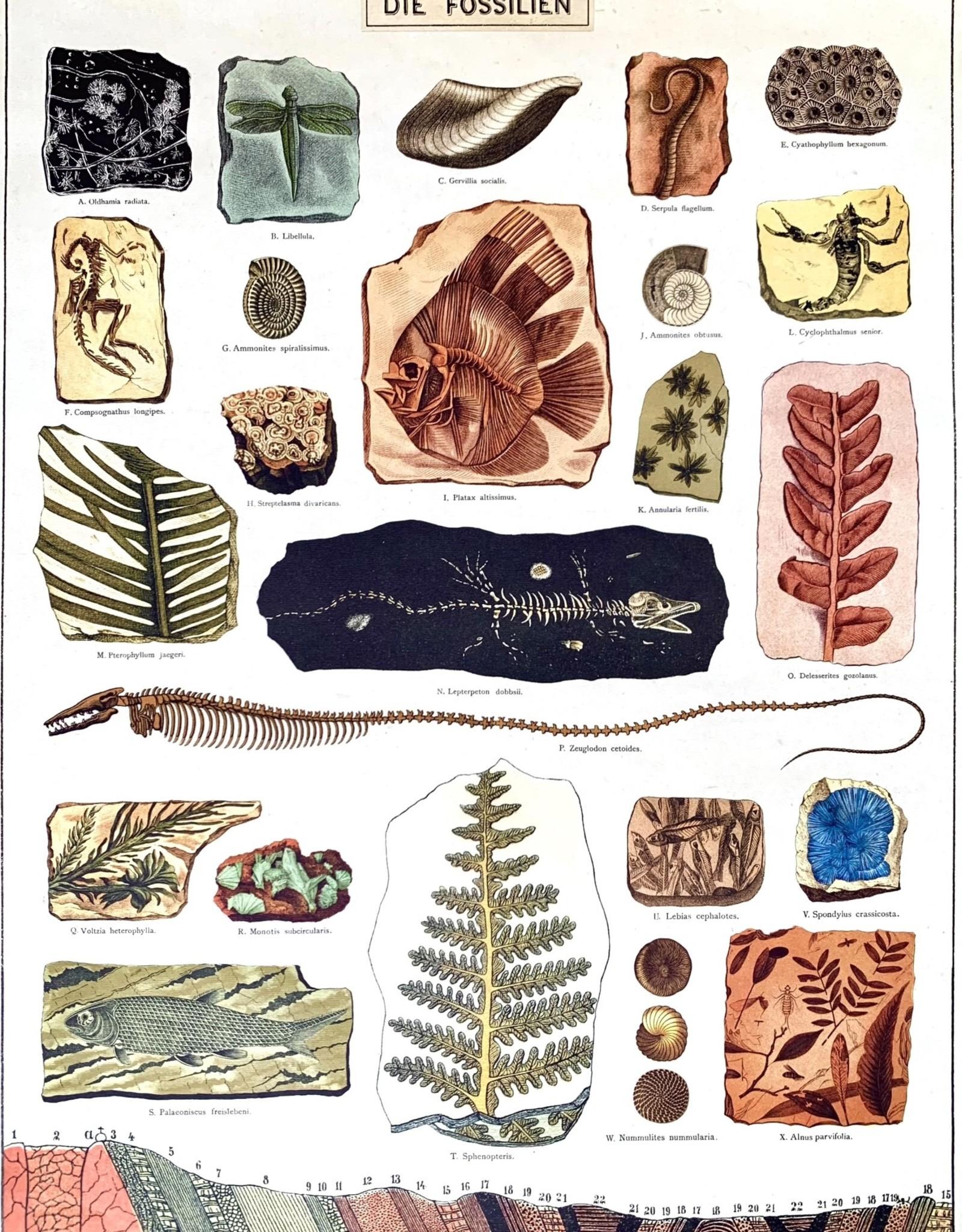 "Cavallini Fossils, Cavallini Poster Print, 20"" x 28"""