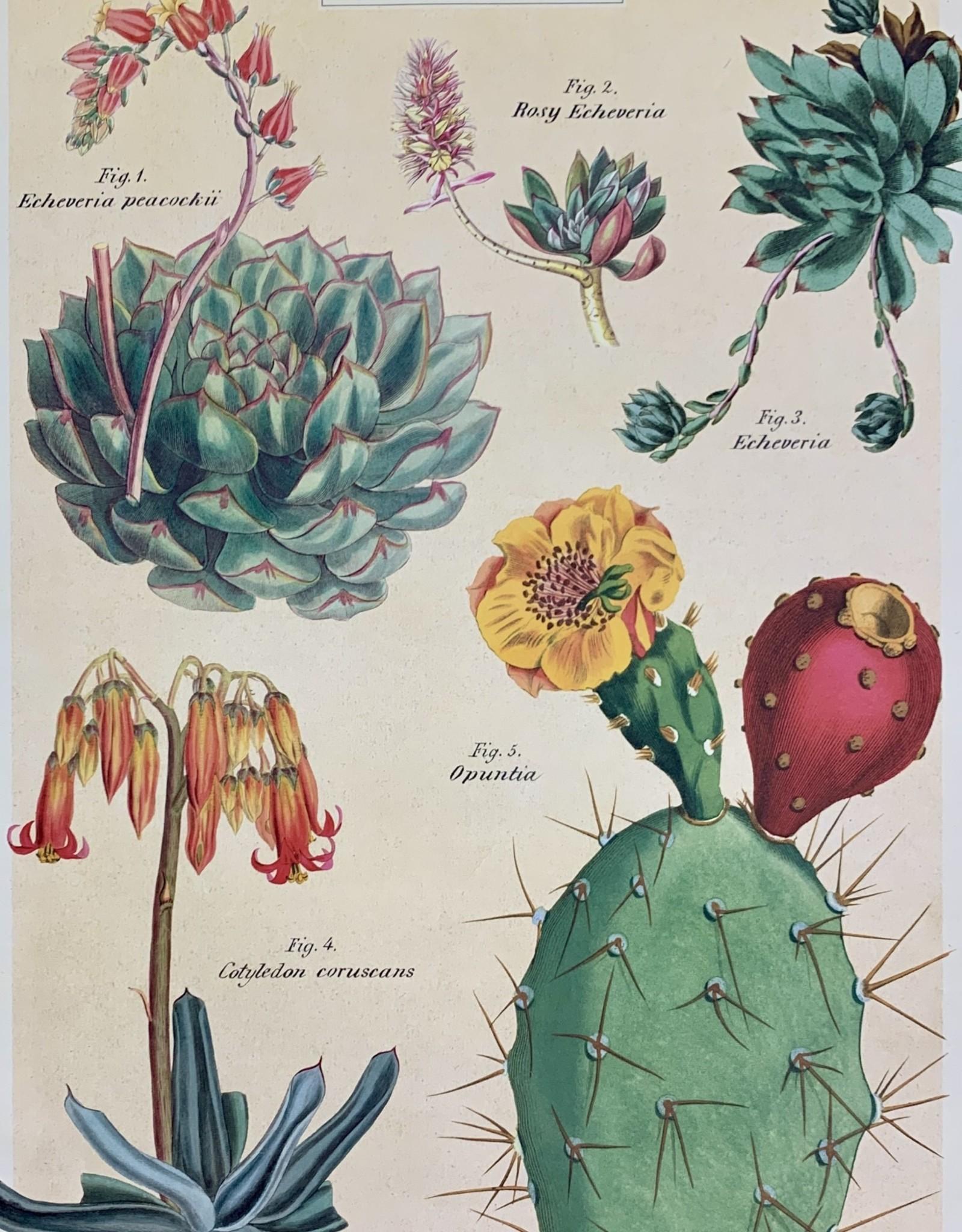 """Cavallini Cacti and Succulents 2, Cavallini Poster Print, 20"""" x 28"""""""