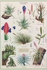 "Cavallini Air Plants, Cavallini Poster Print, 20"" x 28"""
