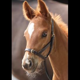 Shires Shires Blenheim Leather Foal Slip Havana