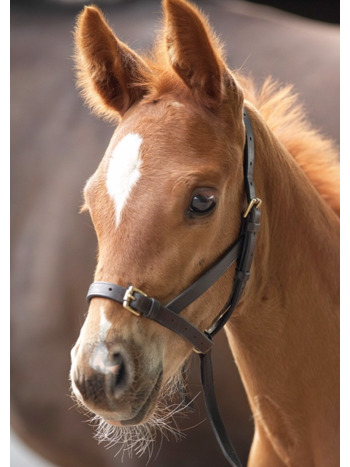 Shires Shires Blenheim Leather Foal Slip Havana