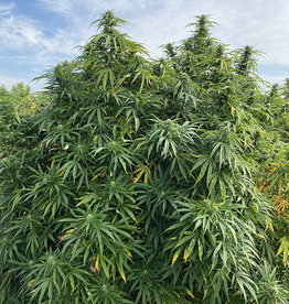 HW Hemp Co HW Hemp  CALL about additional Strains Available In-store Only