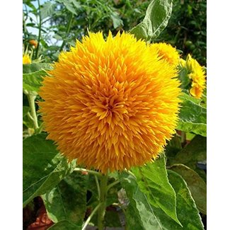 OSC Seeds Sunflower ( Teddy Bear )