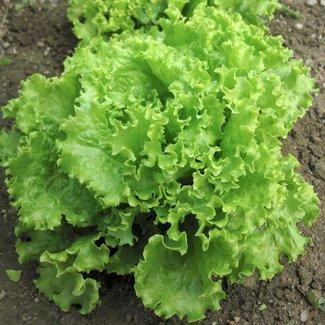 OSC Seeds Lettuce (Salad Bowl)