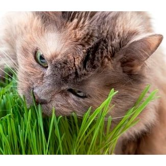 OSC Seeds Cat grass