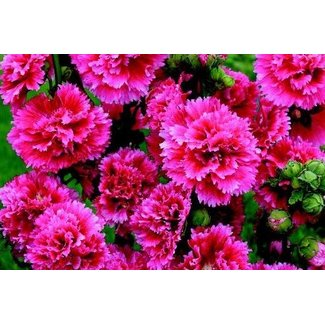 OSC Seeds Hollyhock (Chaters Double Mixed)