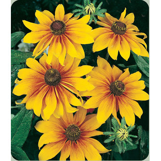 OSC Seeds Gloriosa Daisy