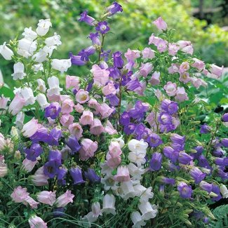 OSC Seeds Canterbury Bells (Cup and Saucer Mixed)