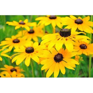 OSC Seeds Black-Eyed Susan (Rudbeckia Hirta)
