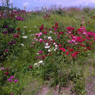 OSC Seeds Wildflowers (OSC Mixture)